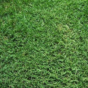 Drought Resistant Grass - Bermuda Grass
