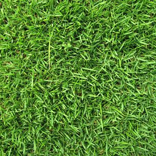 Drought Resistant Grass - Zoysia Grass
